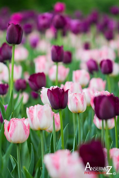 Tulip festival flower 269
