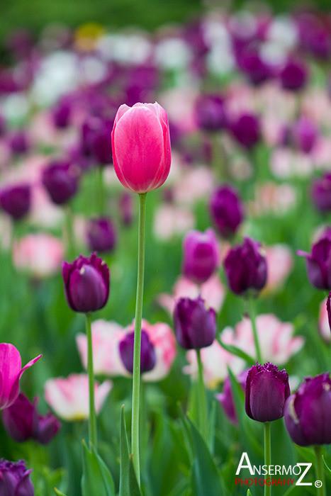 Tulip festival flower 270