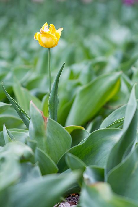Tulip festival flower 274