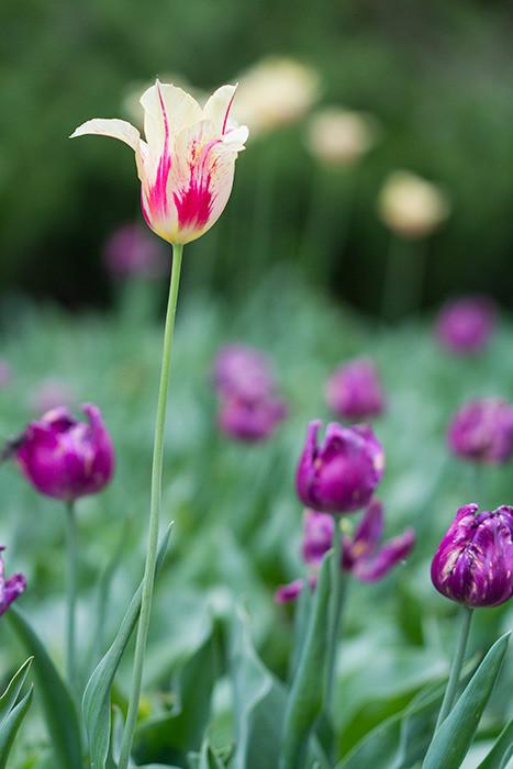 Tulip festival flower 275