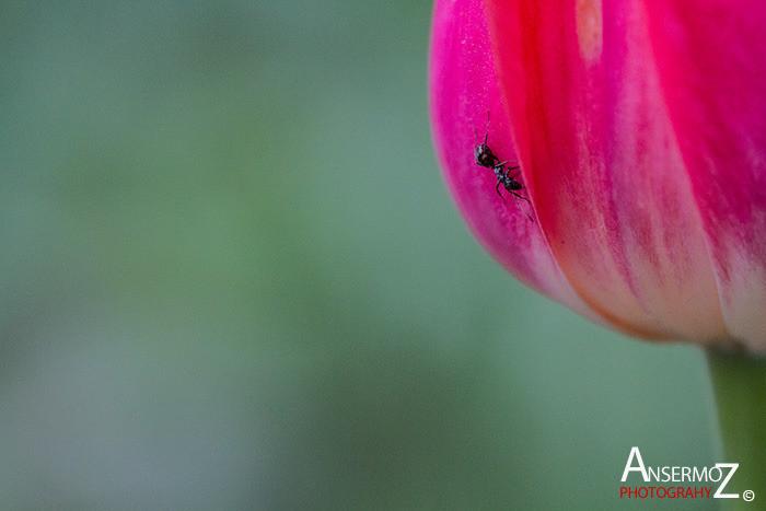Tulip festival flower 281