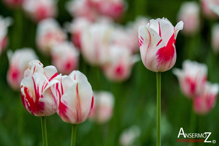 Tulip festival flower 289