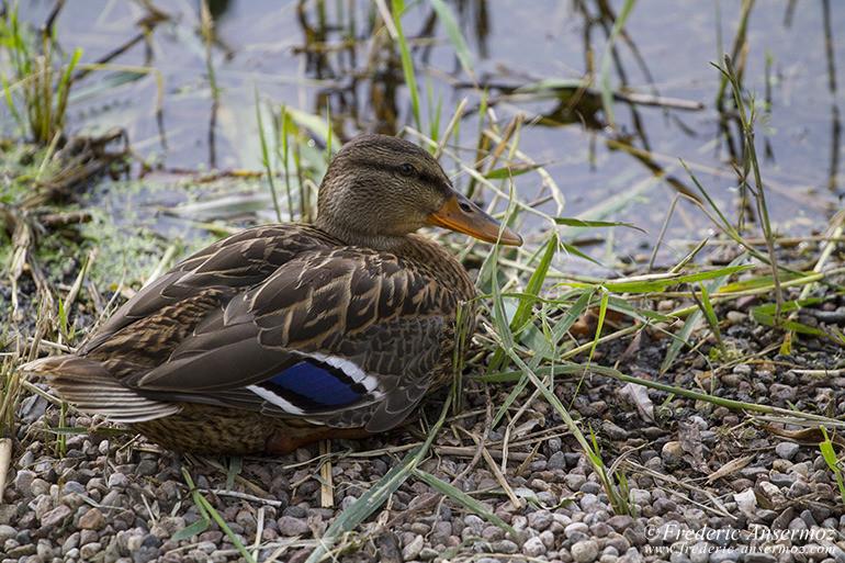 Duck montreal