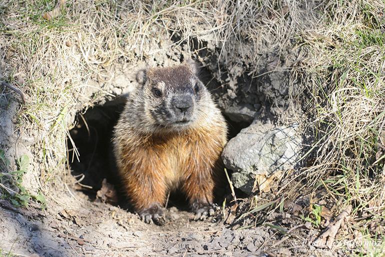 Marmot montreal
