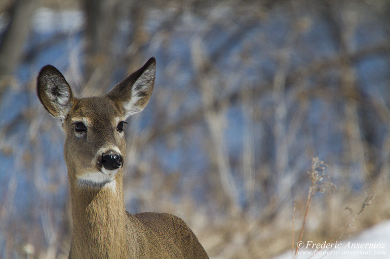 White tailed deer winter