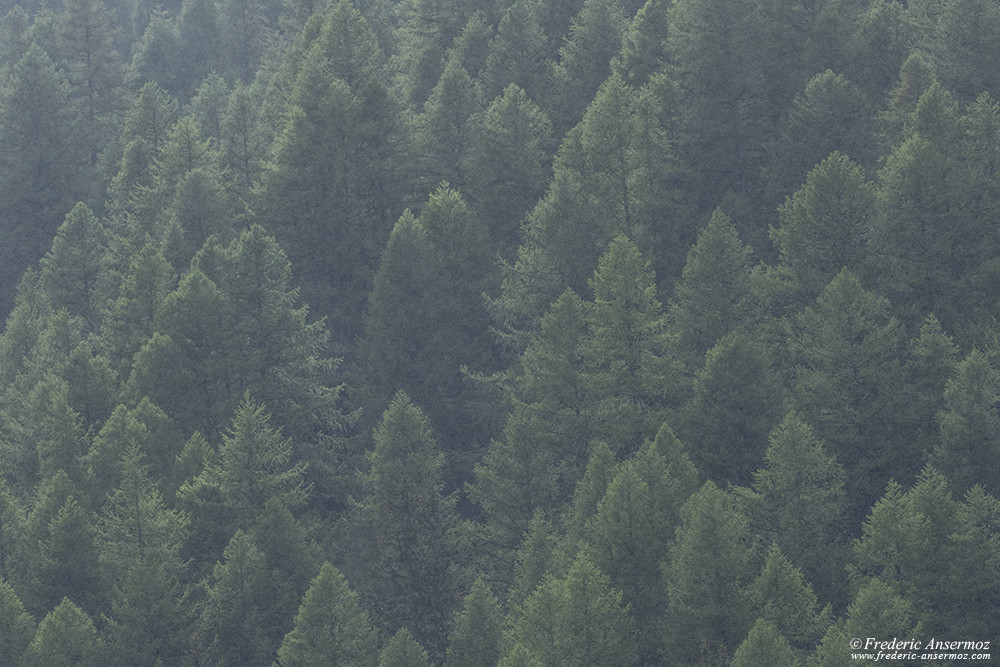 Pine forest in the rain, hiking in Italy