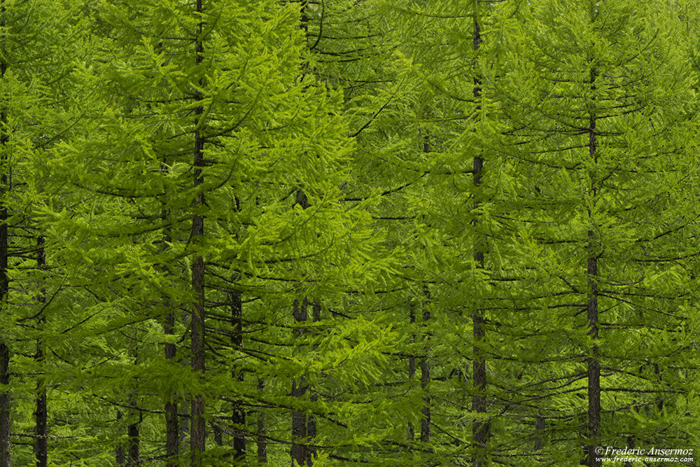 Forest in Italy at the Gran Paradisio National Park