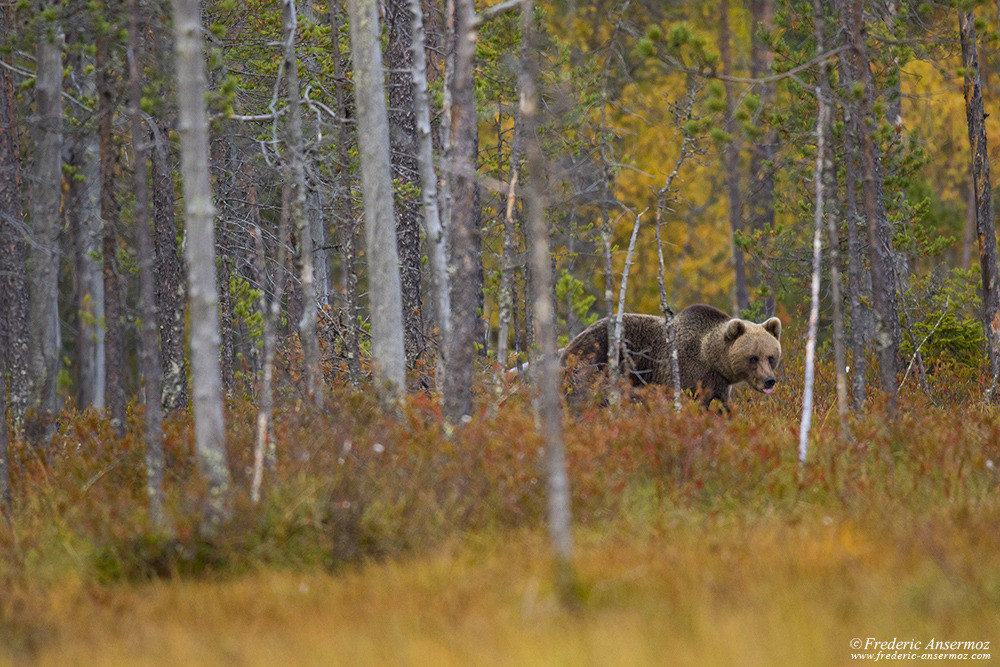 Bear watching in Finland, Kuusamo
