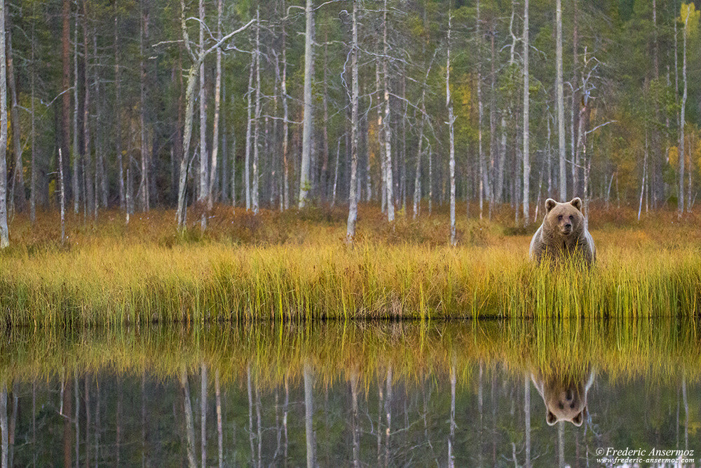 Wild brow bear in Finland, water reflection