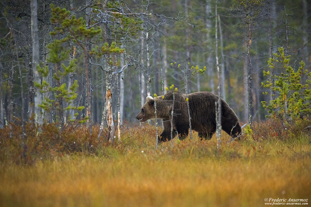 Watching brown bear in wild taiga in Finland