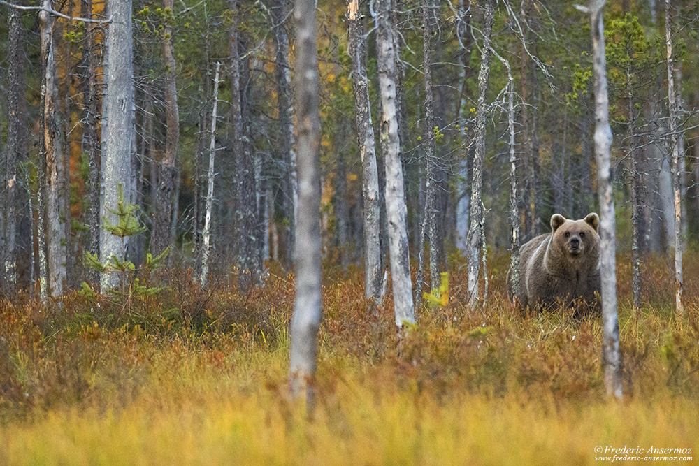Brown bear in finnish forest, wild taïga