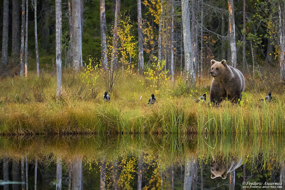 Watching Wildlife in Finland, wild brown bear