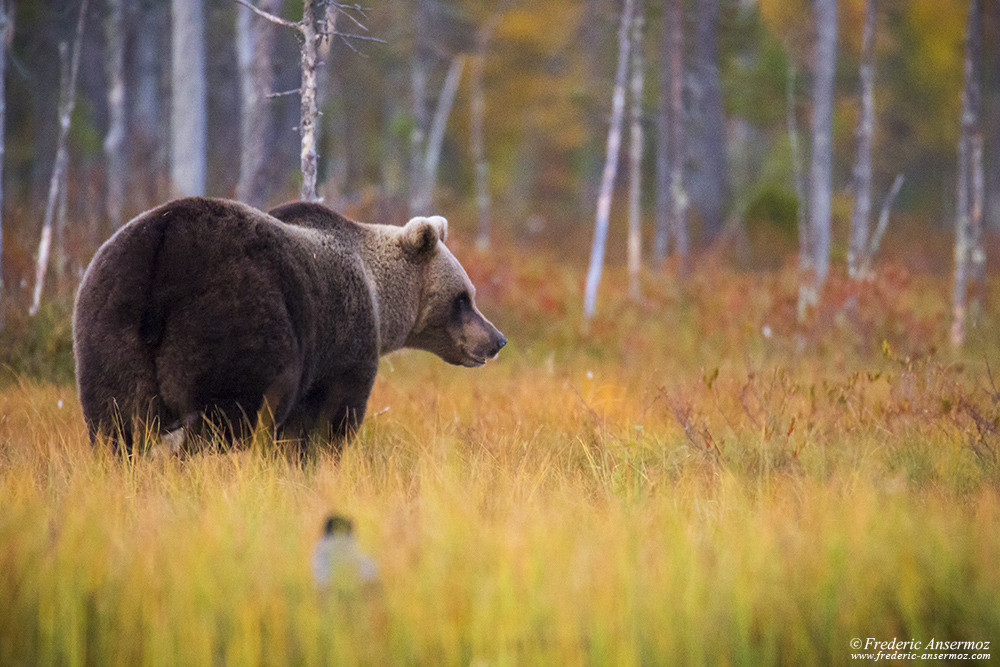 Wild brown bear in taïga, Finland