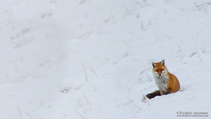 Fox snow winter