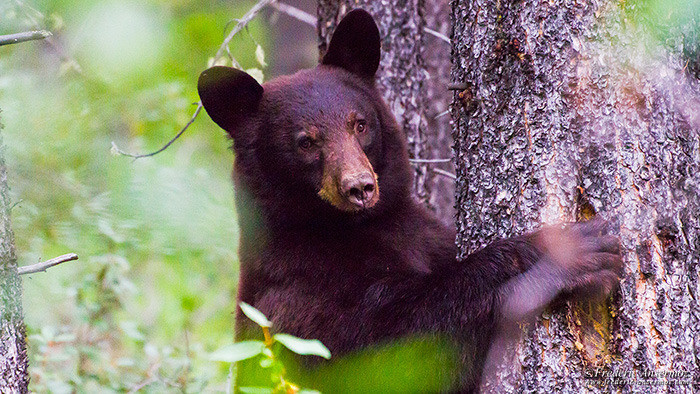 Wildlife photography black bear