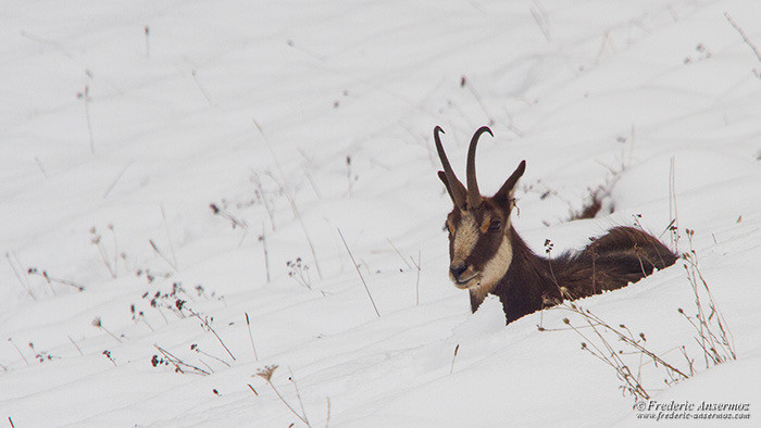 Wildlife photography chamois 2