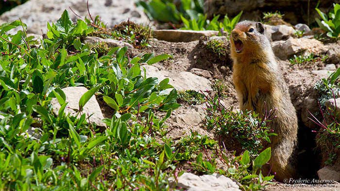 Wildlife photography ground squirrel