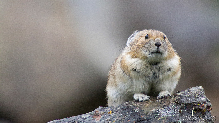 Wildlife photography pika 2