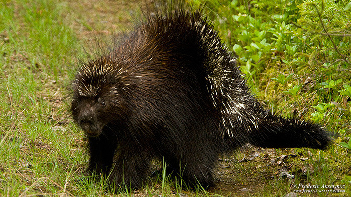 Wildlife photography porcupine