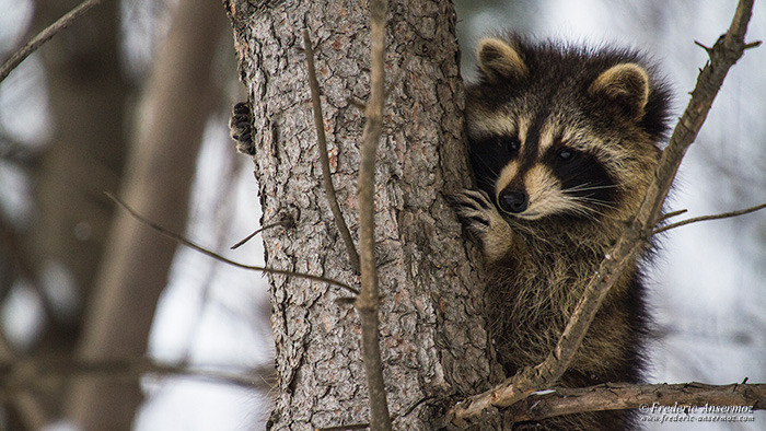 Wildlife photography raccoon