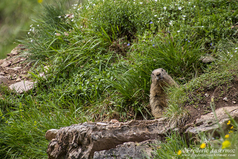 Vanil noir marmotte 18