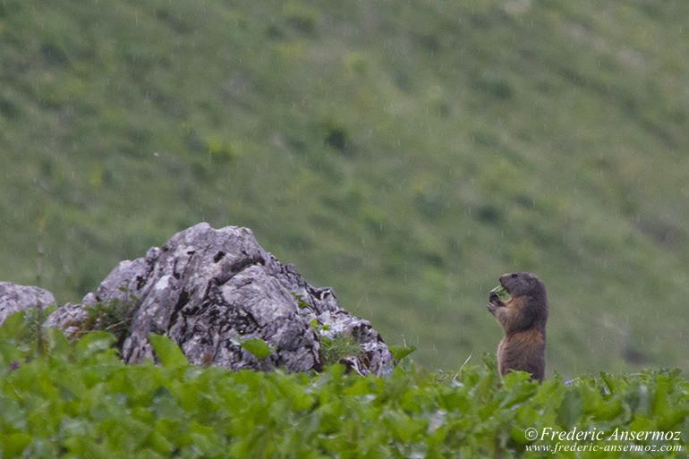 Vanil noir marmotte 20