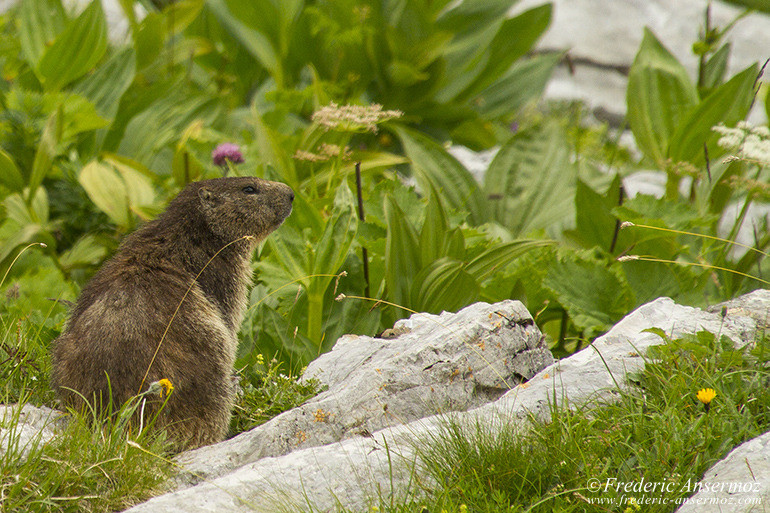 Vanil noir marmotte 21