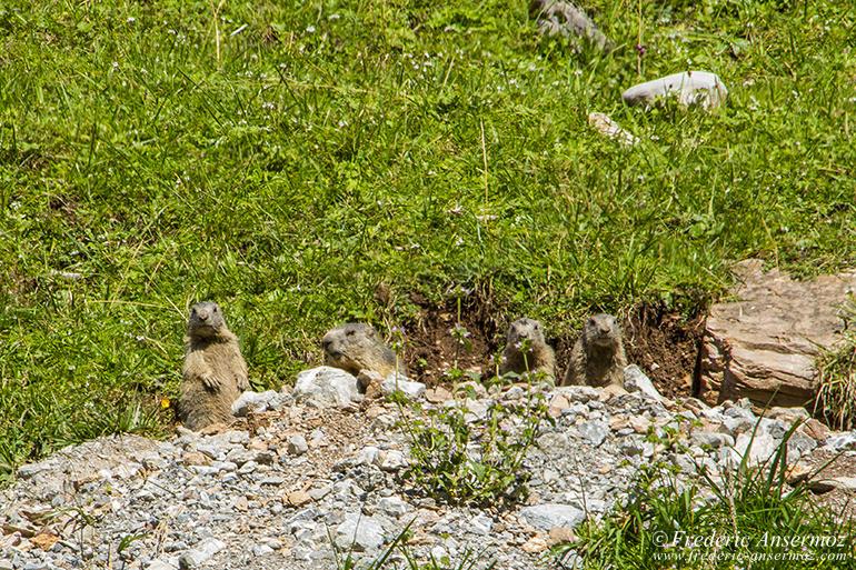 Vanil noir marmottes 23